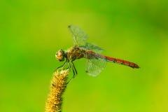 Libelle, die auf der trockenen Anlage sitzt Stockbilder