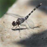Libelle, die auf der Wandgrenze sitzt Lizenzfreies Stockbild