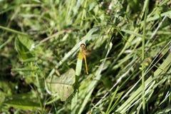 Libelle, die auf einem Blatt in der Sommerseggewiese sitzt Stockbilder