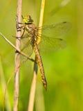 Libelle, die auf einem Blatt stillsteht Lizenzfreie Stockfotos