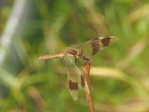 Libelle, die auf einem Grashalm sitzt Lizenzfreies Stockfoto