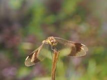 Libelle, die auf einem Grashalm sitzt Stockfotos