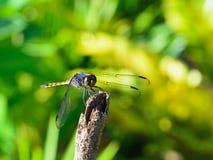 Libelle, die auf einem Schilf stillsteht Stockfotos