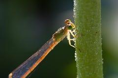 Libelle, die auf einem Stamm bleibt Lizenzfreie Stockfotos