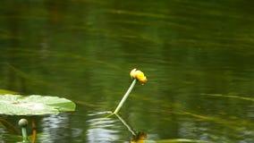 Libelle, die auf einer Lilie und einer Fliege sitzt stock footage