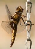 Libelle, die auf Kette an einem sonnigen Tag hält Stockbilder