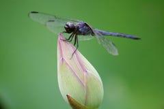 Libelle, die auf Lotos stillsteht lizenzfreie stockbilder
