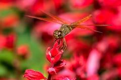Libelle, die auf roter Blumennahaufnahme sitzt Stockfotos