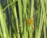 Libelle, die auf Schilf stillsteht Stockfotografie