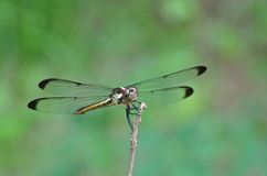 Libelle, die auf Zweig hält Lizenzfreie Stockbilder