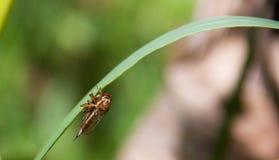 Libelle, die eine Fliege isst Stockfotografie