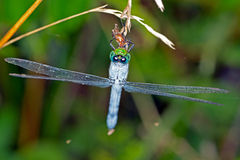 Libelle, die einen Programmfehler isst Stockbild