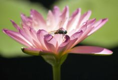 Libelle ein waterlilly Lizenzfreies Stockbild