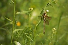 Libelle in einem Gras stockfotografie