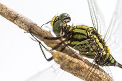Libelle gehockt auf einem Baumast Stockfoto