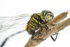 Libelle gehockt auf einem Baumast Lizenzfreies Stockbild