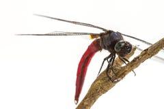 Libelle gehockt auf einem Baumast Lizenzfreie Stockbilder