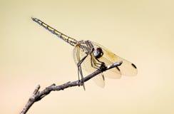 Libelle gehockt auf einem Zweig Stockfotografie