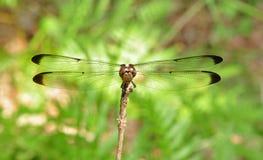 Libelle gehockt auf Zweig Lizenzfreies Stockfoto