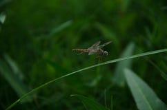 Libelle, grüner Hintergrund, Gras Lizenzfreies Stockfoto