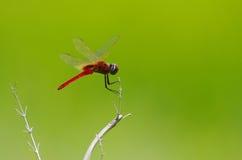 Libelle am Grasblumenfeld Stockbild