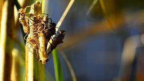 Libelle hängt an einer Anlage und an den Luken stock video