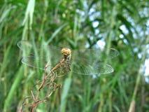 Libelle im botanischen Garten Lizenzfreie Stockbilder