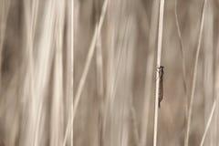 Libelle im Gras Lizenzfreie Stockfotos