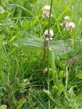 Libelle im Juni Lizenzfreies Stockbild