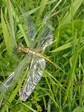 Libelle im Juni - 2 Stockfotografie
