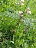 Libelle im Juni - 3 Lizenzfreie Stockfotografie