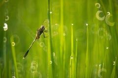 Libelle im Reisfeld stockfotografie