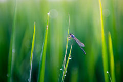 Libelle im Reisfeld lizenzfreie stockbilder