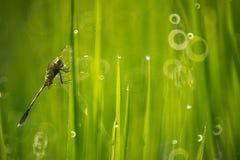 Libelle im Reisfeld lizenzfreies stockbild
