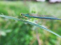 Libelle ist auf dem Gras lizenzfreie stockfotografie