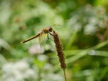 Libelle ist auf einem Hintergrund des grünen Grases Stockfotografie