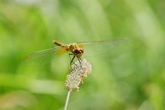 Libelle ist auf einem Hintergrund des grünen Grases Lizenzfreies Stockbild