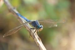 Libelle - lächelndes Gesicht stockbilder