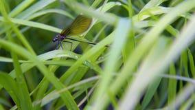 Libelle LAT Lestes-Dryas, sitzend auf dem grünen Gras, beeinflussender Wind an einem Sommertag stock video