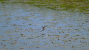 Libelle legt Eier stock video