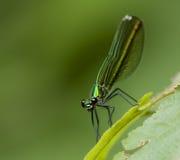 Libelle - Libellula 300dpi Lizenzfreies Stockfoto