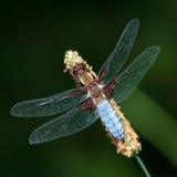 Libelle - Libellula-depressa stockfoto