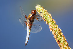 Libelle - Libellula-depressa lizenzfreies stockfoto