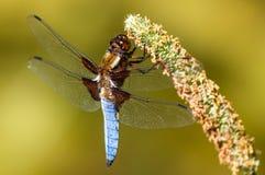 Libelle - Libellula-depressa stockfotografie