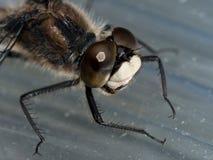 Libelle mit blauen Augen Lizenzfreies Stockfoto