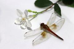 Libelle mit dem Stock der weißen Blume und des grünen Blattes auf dem weißen Hintergrund Stockfoto