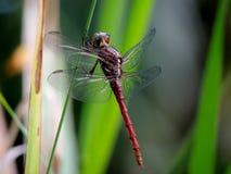 Libelle mit Fleisch ähnlicher Schale Stockfoto