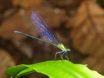 Libelle mit Flügeleffekten Lizenzfreies Stockfoto