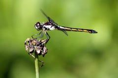 Libelle-Nahaufnahme Lizenzfreie Stockbilder
