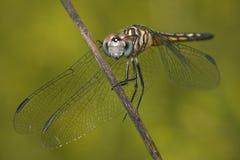 Libelle-Nahaufnahme Lizenzfreie Stockfotografie